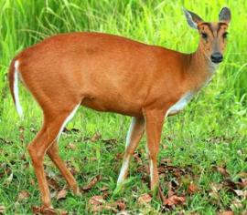 Barking Deer or Red Muntjac
