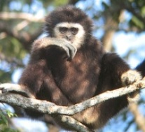 White-Handed Gibbon Sitting in Tree