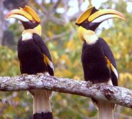 Pair of Great Hornbills